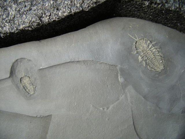 Trilobite with legs