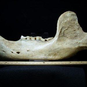 Ursus spelaeus fossils