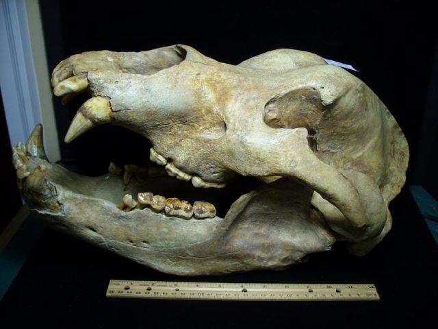 Ursus spelaeus