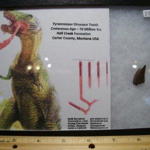 Tyrannosaurus Teeth