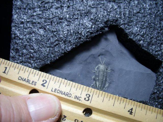 crab fossils