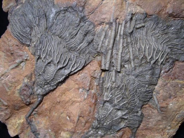 Moroccan Fossil Crinoids