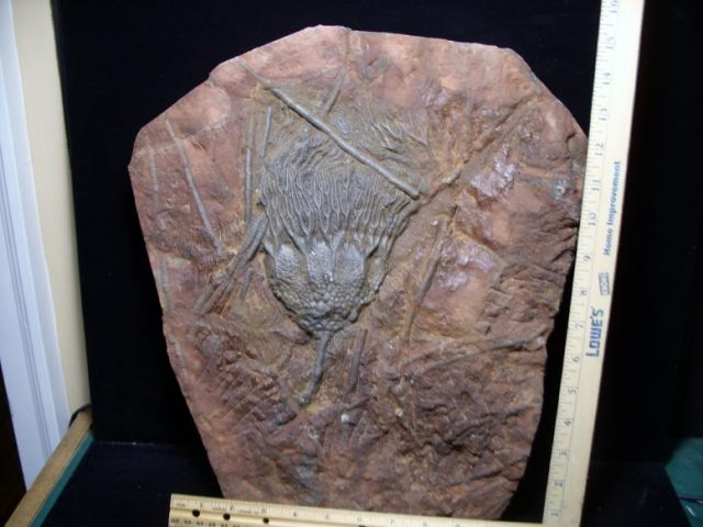 Moroccan Crinoid Fossils
