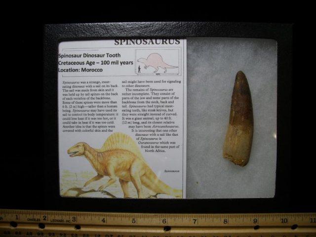 Spinosaur Dinosaur Tooth