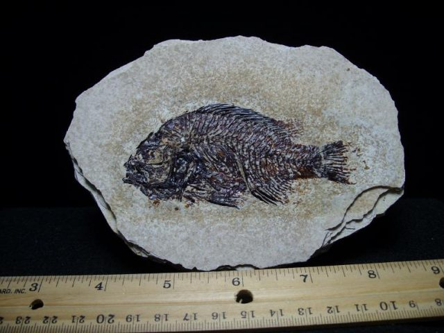 Priscacara Fossil Fish
