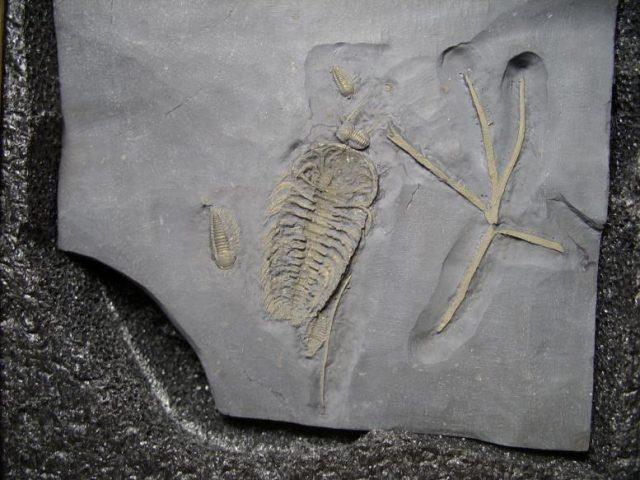 trilobite legs