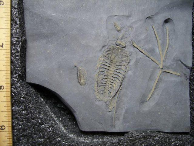 Ordivicion Trilobites
