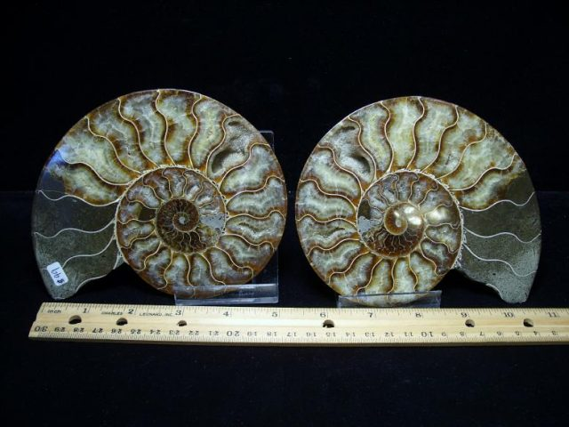 ammonite fossils