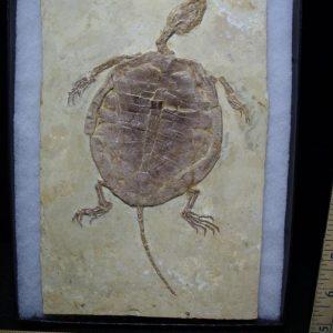 Fossil Turtles