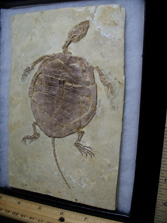 Fossil Turtles