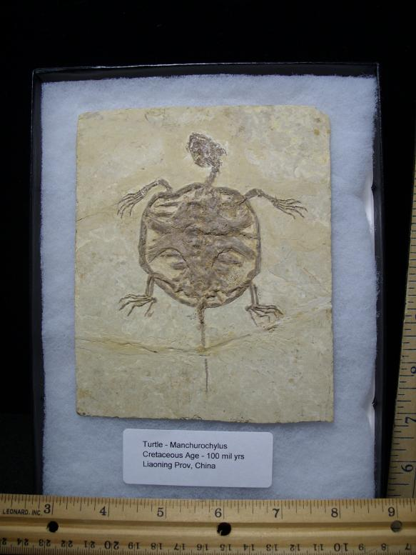 Turtle Fossils