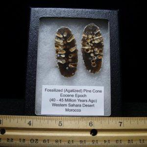 fossil cones