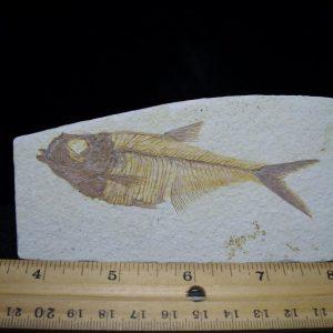dyplomystus fish