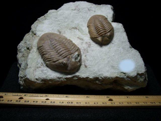 trilobite collecting