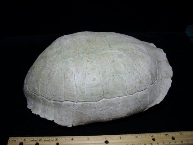 Stylemys nebraskenis (Tortoise)