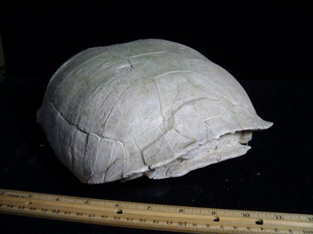 tortoise fossils