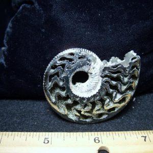 ammonites fossils