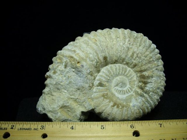 fossil ammonite for sale