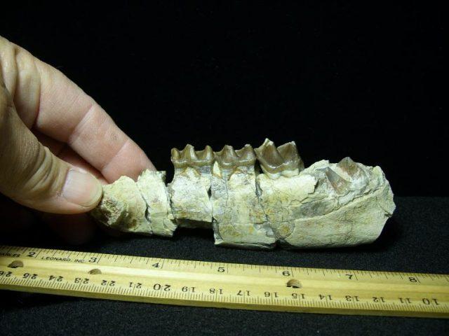 mammal fossils