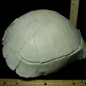 Stylemus Tortoise