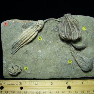 crawfordsville fossils