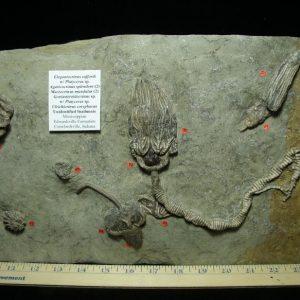Crawfordsville crinoids