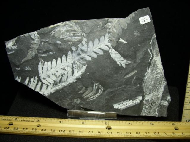 plant fossils
