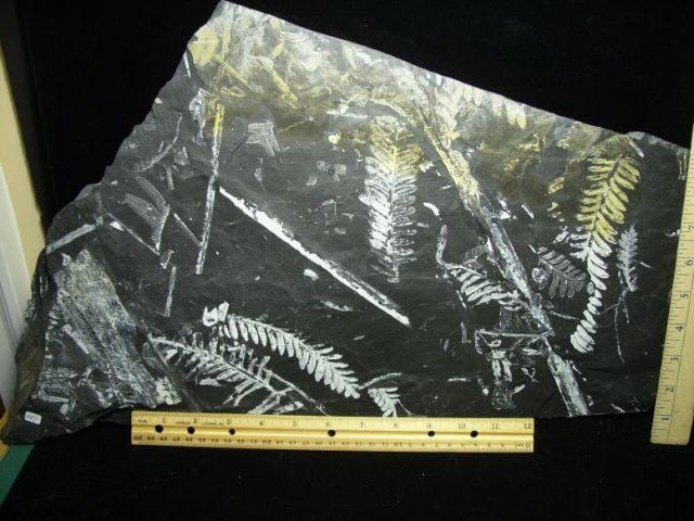 pennsylvania fern fossils