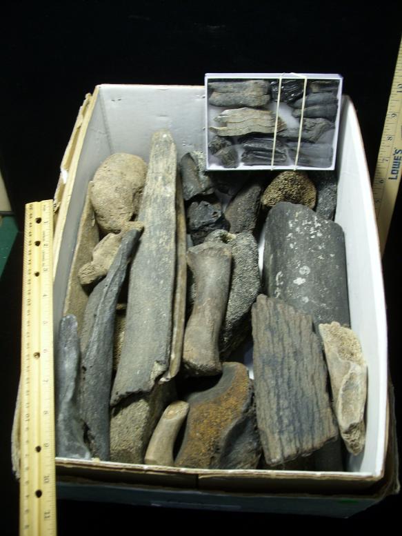 bone fossils