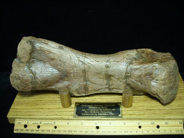 Hadrosaur bones