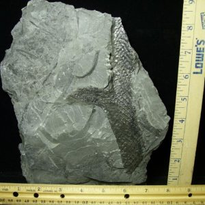 lepidodendron fossils