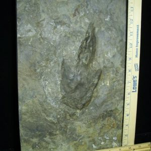 dinosaur foot prints