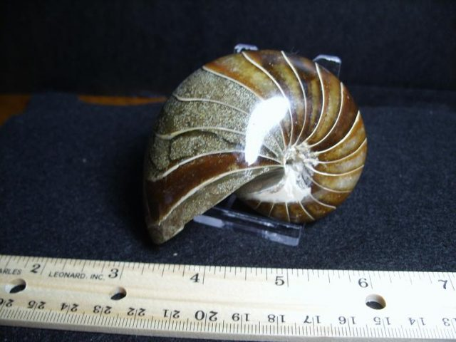 Fossilized Nautilus