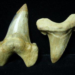All Other Shark Teeth
