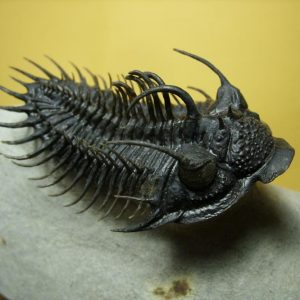 Very High End Trilobites - Over $400