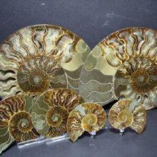 ammonite-fossils.jpg