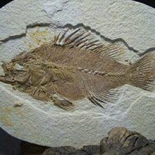 fossil-fish
