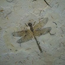 fossil-insects