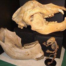 mammal-fossils