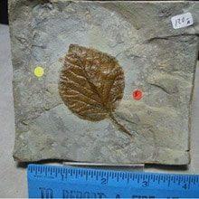 plant-fossils